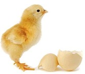 chicken-or-egg-first-marathi