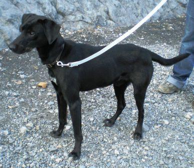 KAISER - x labrador/épagneul noir 10 ans  suite à accident  (5 ans de refuge) - Refuge de Digne (04) Chien%2520noir