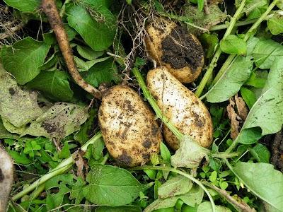 ジャガイモ収穫仕立て