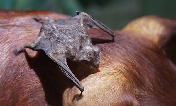 5- Morcego-vampiro