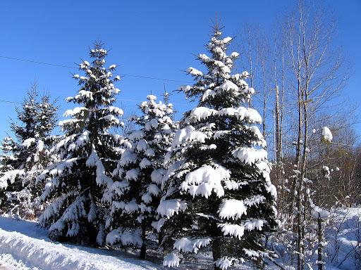 Snowy Pine Tree