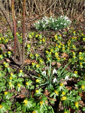 033 Galanthus nivalis, snödroppe, Eranthis hyemalis, vintergäck