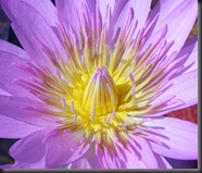 LAVENDER WATER LILY 4