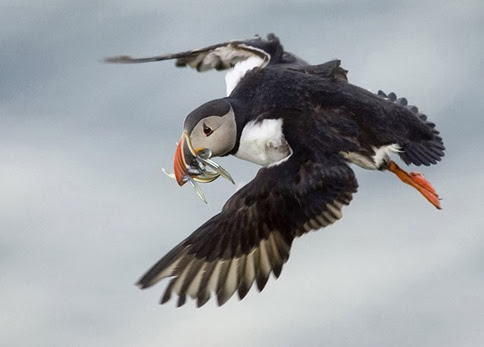 Amazing Pictures of Animals, Photo, Nature, Incredibel, Funny, Zoo, Puffins, Bird, Aves, Alex (13)