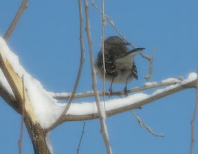 Our Mockingbird friend