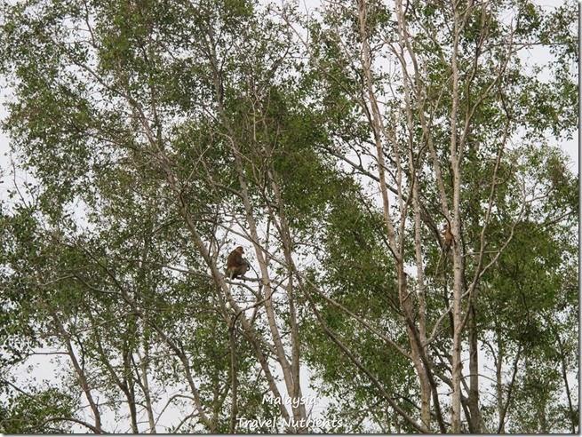 沙巴長鼻猴螢火蟲 (39)