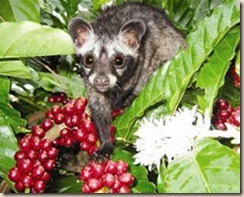 weasel coffee berries