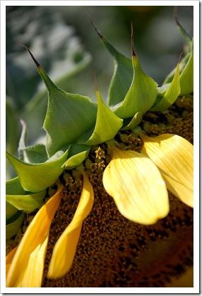 Sunflower Stamen