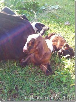 44 newborn goats (599x800)