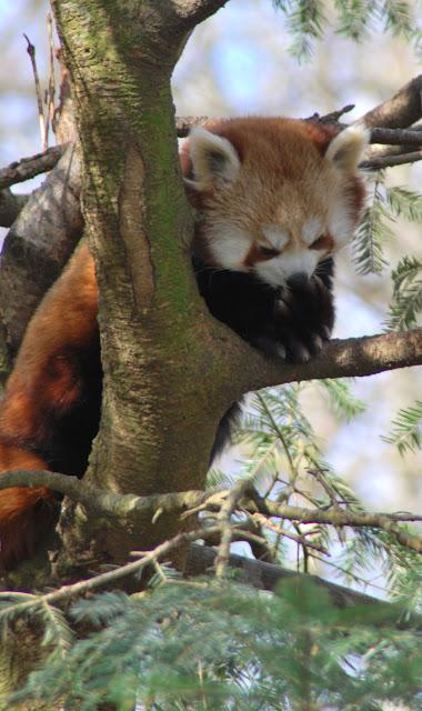 mindre panda 1