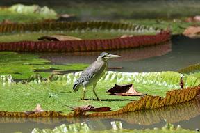 Sir Seewoosagur Ramgoolam Botanical Gardens