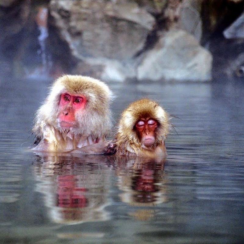 The Snow Monkeys of Jigokudani