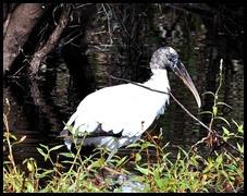 06d - Wood Stork