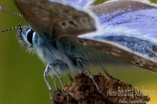 butterfly_20110729_blue2