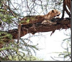 October 24, 2012 leopard in tree