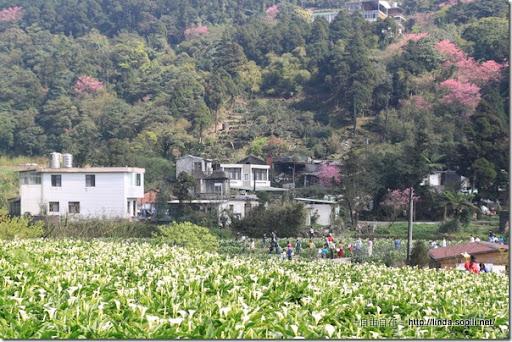 2010陽明山花季-竹子湖