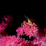 crab soft coral
