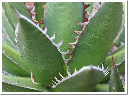 120602_Agave-ghiesbreghtii_07