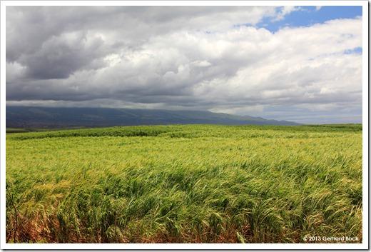 130715_Hwy37_sugarcane_006