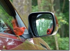 Cardinal attacking his reflection