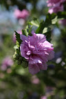 It's a 'Double Violet' Rose of Sharon.  Do you remember in John Steinbeck's The Grapes of Wrath that Rose of Sharon is a major character?  It's a pretty flower and a pretty name.