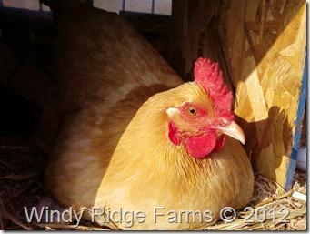 Chicken Coop (7)