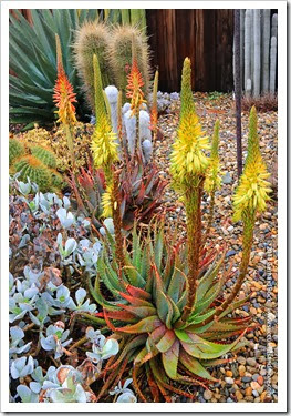 140208_RBG_Aloe-microstigma-yellow-form_001