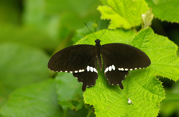 Papilio polytes theseus CRAMER, (1777), mâle. Lot n°2, Sukau (Sabah), 13 août 2011. Photo : J.-M. Gayman