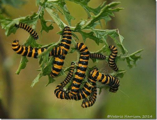 cinnabar-caterpillars