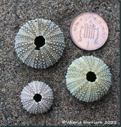 14-tiny-sea-urchins