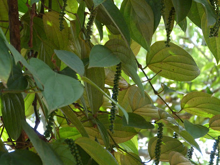 Mirodenii Sri Lanka: piper