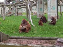 2005.05.06-032 orangs-outangs