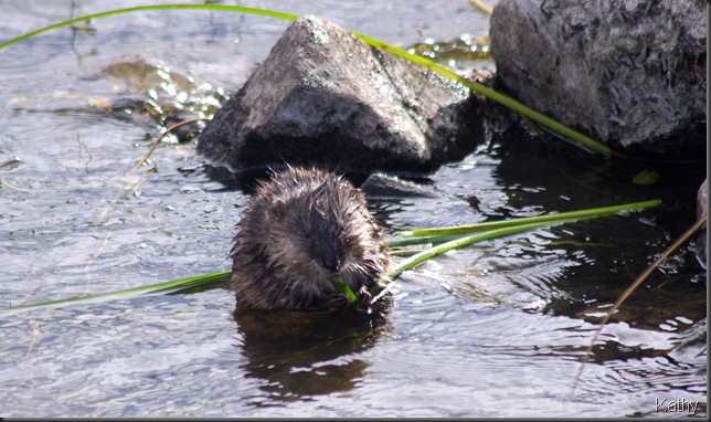 Muskrat with lunch