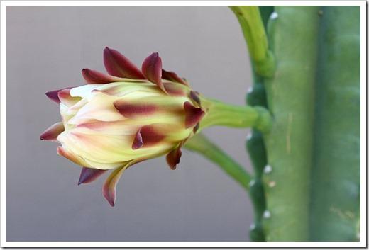 110816_Cereus-hildmannianus-1126am