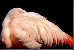 Chilean_Flamingo_0410