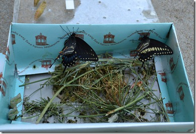 July 31 2011 butterflies last 003 edited
