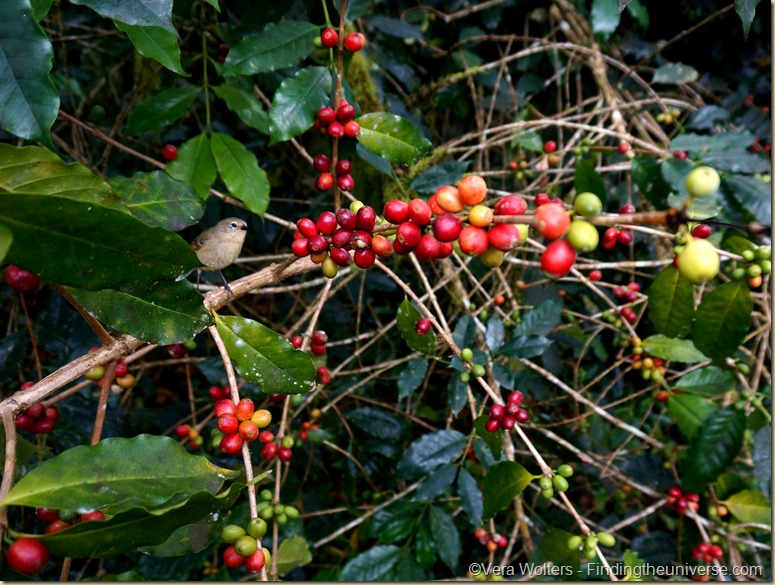 Bird%252520with%252520coffee%252520berries%252520galapagos thumb
