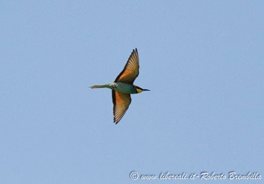 22-2014-05-19_Gruccione_Delta Po (25)-2