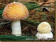 Amanita-Muscaria, Beretele pestrit, muscarita