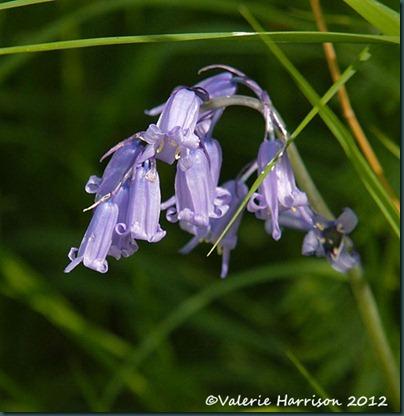 9-bluebells