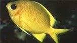 Nouvelle-Calédonie demoiselle jaune