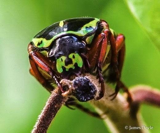 Amazing Pictures of Animals, Photo, Nature, Incredibel, Funny, Zoo, Eupoecila australasiae, fiddler beetle or rose chafer, Insecta, Alex (12)