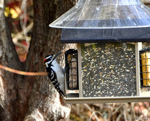 9. hairy woodpecker-kab
