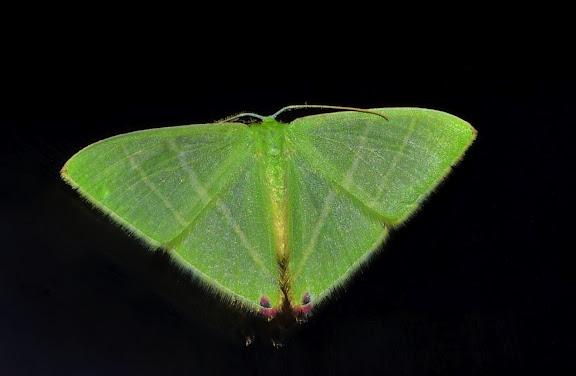 Geometridae : Geometrinae : Urolitha bipunctifera WALKER, 1961. Umina Beach (NSW, Australie), 23 septembre 2011. Photo : Barbara Kedzierski