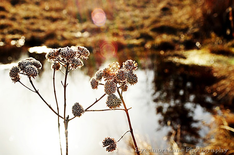 Winter weed at the pond-w
