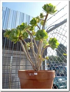 120208_CactusJungle_Aeonium-balsamiferum