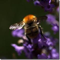 bee crop