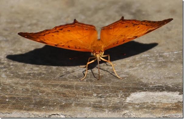 cruiser butterfly (2)