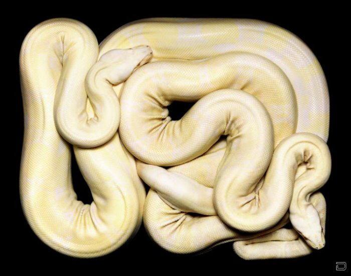 Designer Snakes