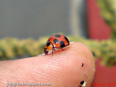 Variable Ladybird (Coelophora inaequalis)